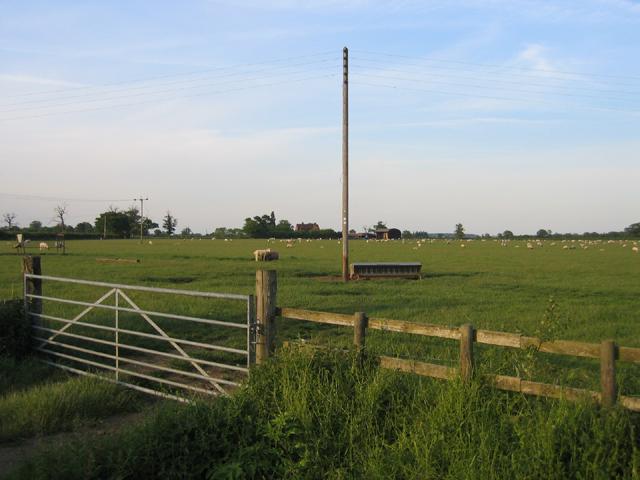 Sheep grazing off Elms Lane, Wilstead, Beds