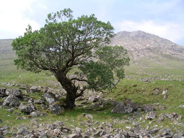 Tree, Glen Etive