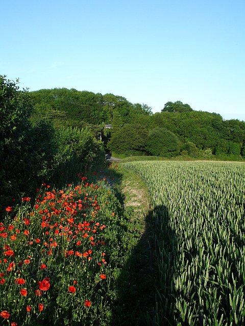 Poppies on the field margin
