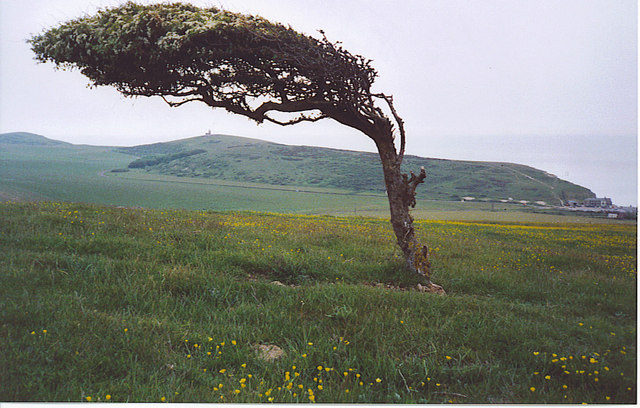 Windblown Tree on Went Hill