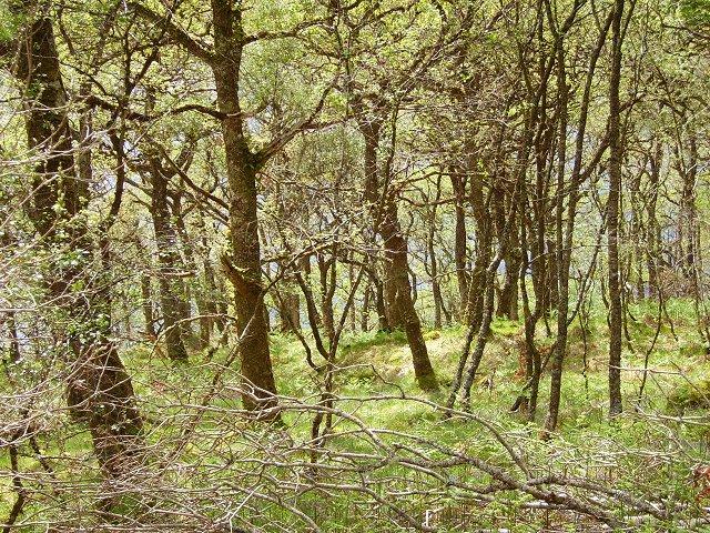 Loch Sunart oakwoods