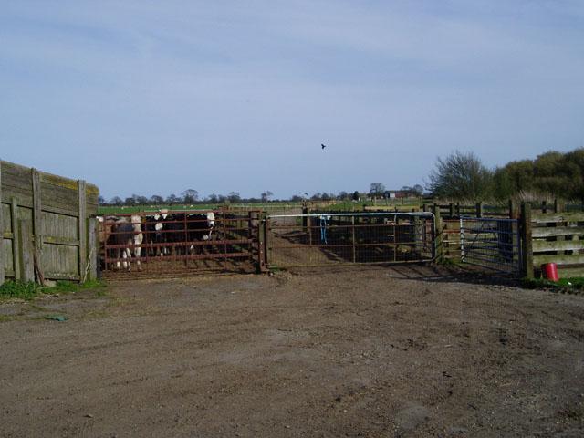 Cattle pens near Rufforth