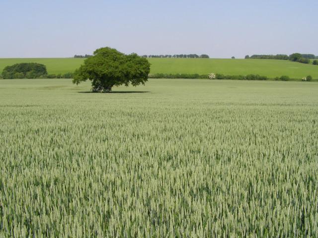 The Ovington Gospel Oak in summer, Gander Down