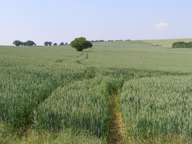 Wheat field on Gander Down
