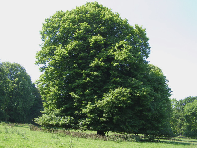 Lime tree in Hinton Ampner Park
