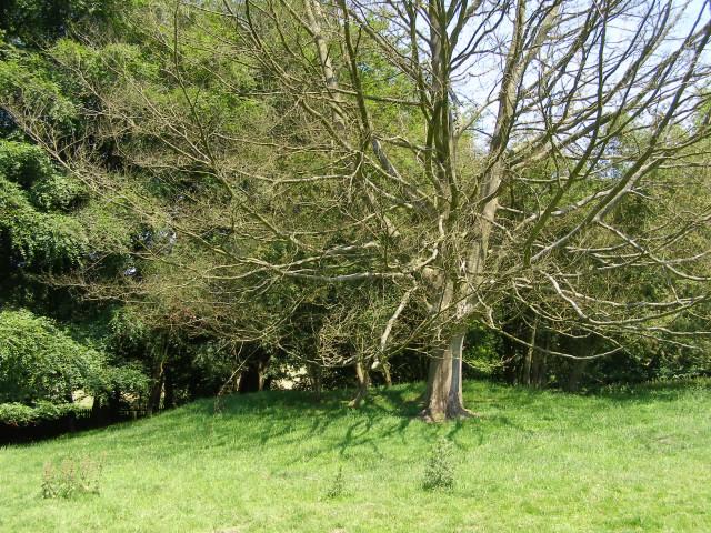 Bowl barrow and dead tree in Hinton Ampner park