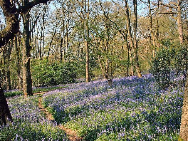 Bluebells in Middleton Woods, Ilkley