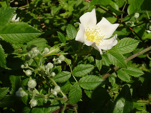 Dog rose and dogwood