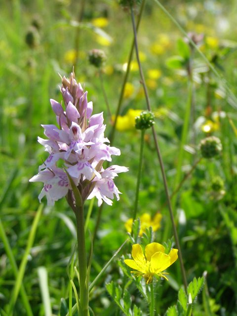 Common spotted orchid, Old Winchester Hill National Nature Reserve