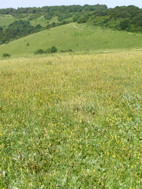 Chalk grassland within Old Winchester Hill fort