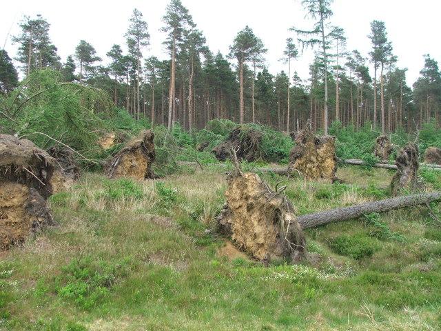 Wind Felled Trees at Brown Howe.
