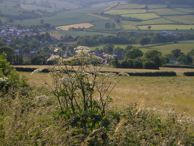 Hogweed above Sidford
