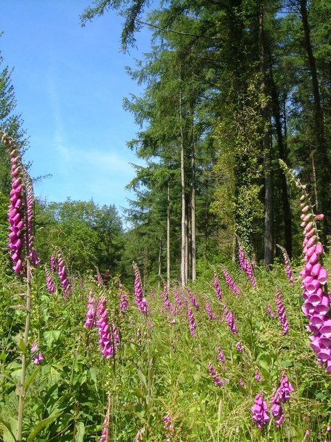 Foxgloves in Aveton Wood