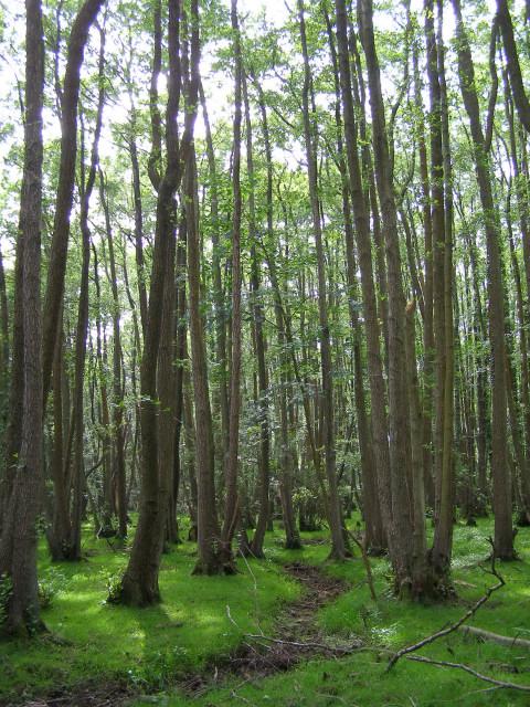 Alder carr, Matley Bog, New Forest