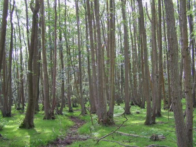Alder coppice at Matley Bog, New Forest