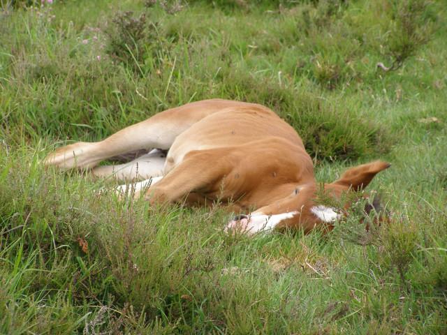 Resting foal near Matley Bog, New Forest
