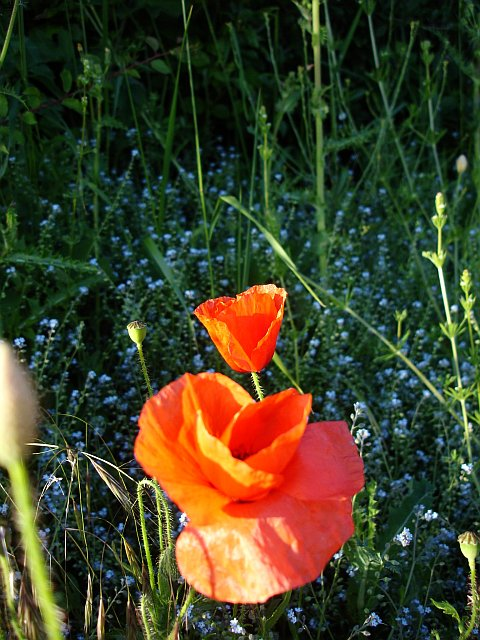 Poppies and forgetmenots