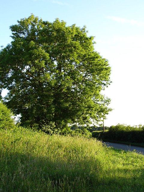 Oak tree on Faversham Road