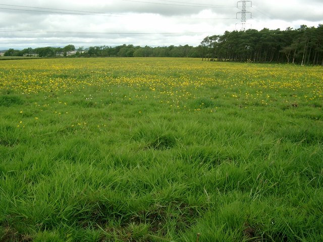 Buttercup pasture near Mid Drumloch