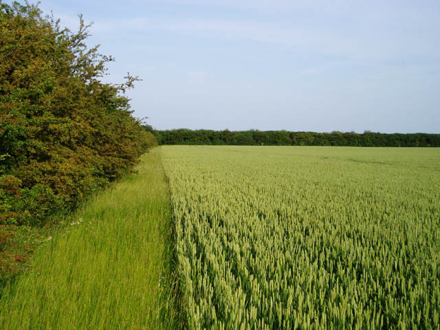 Field of wheat on Fulbourn Fen