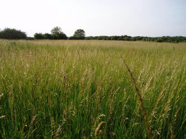 Grassland on Teversham Fen