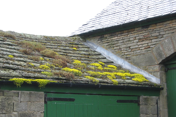Rock plants on a stone roof, Upper Midhope