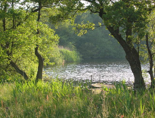 Oss Mere reed beds