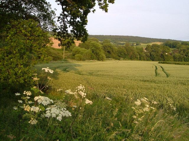 Wheat field beside Otter