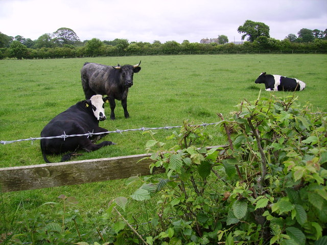 Cows Near Ulverston