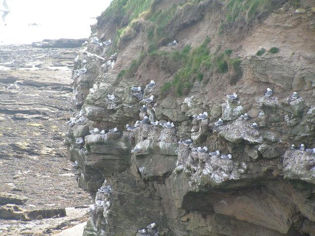Kittiwakes nesting on a cliff, North Sunderland point