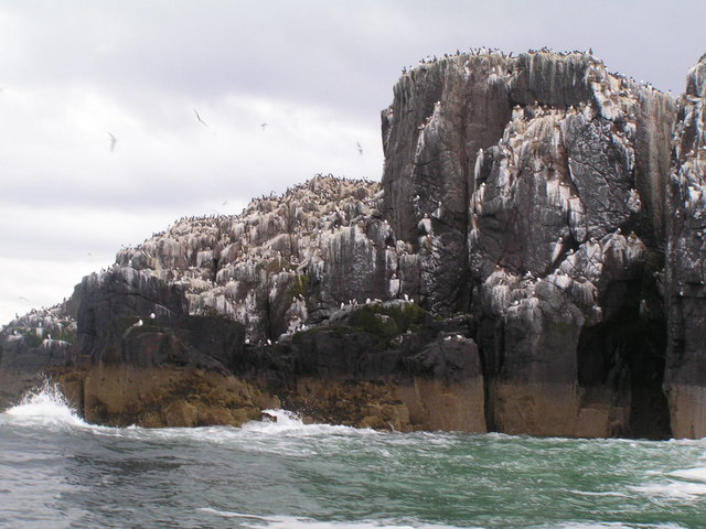 Guillemots on the cliffs of staple Island