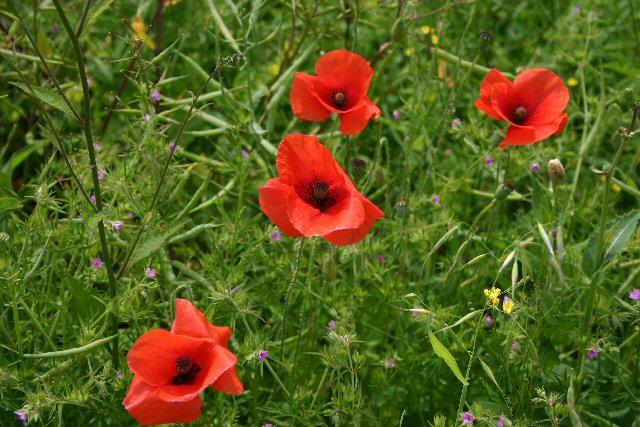 Wild flowers, near Lidgate