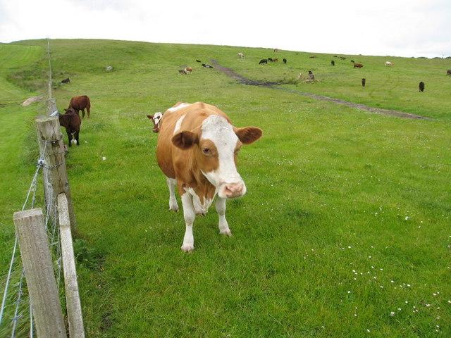 Cows at Triagh