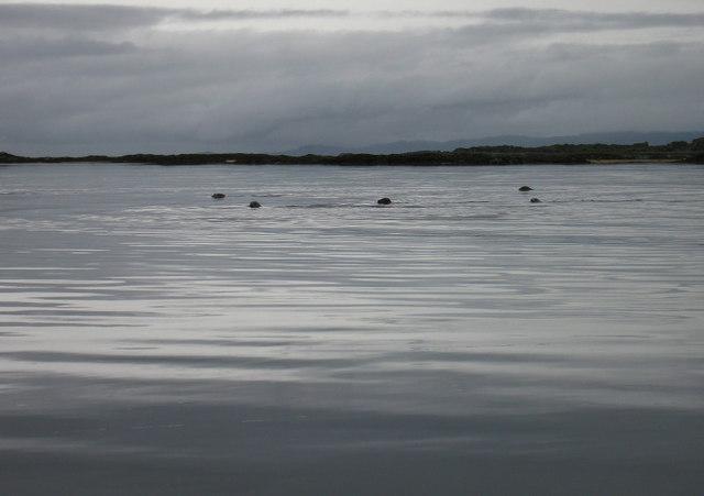 Seals in Loch nan Ceall