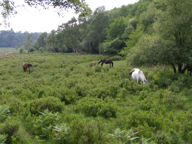 Ponies grazing south of Matley Bog, New Forest