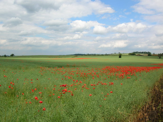 Poppies on the road to Crambe