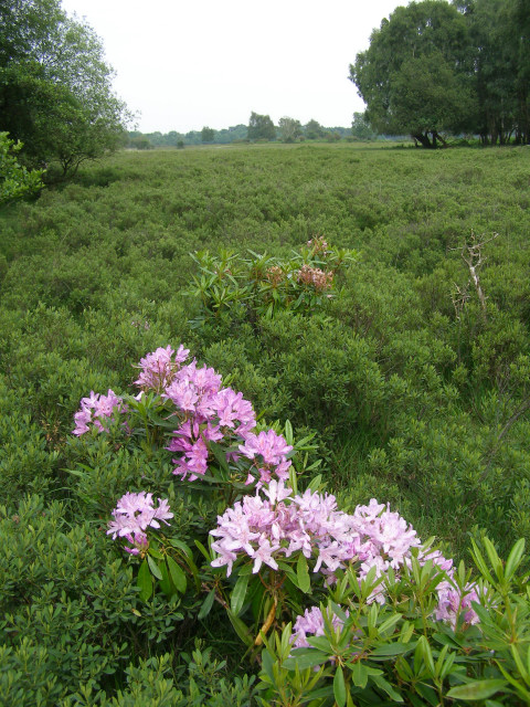 Rhododendron on the edge of Matley Bog, New Forest