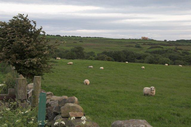 Grazing near Moorgate Farm