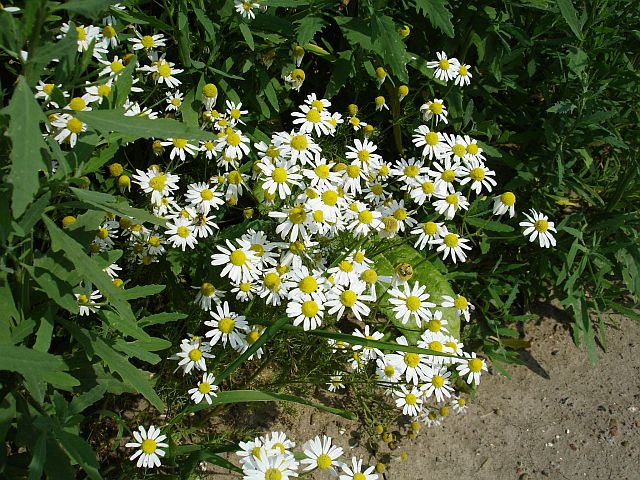 Chamomile or Mayweed