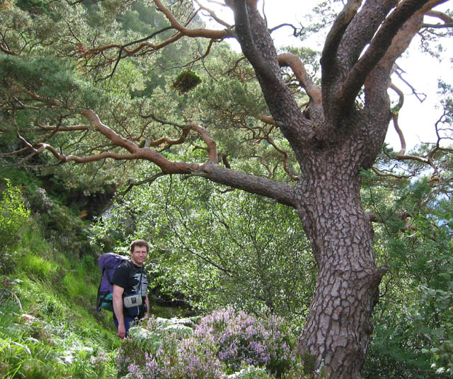 Ancient Caledonian pine