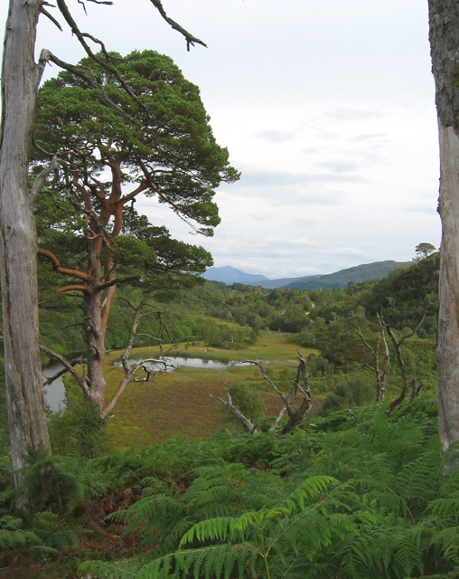 Caledonian pines by Loch Shiel