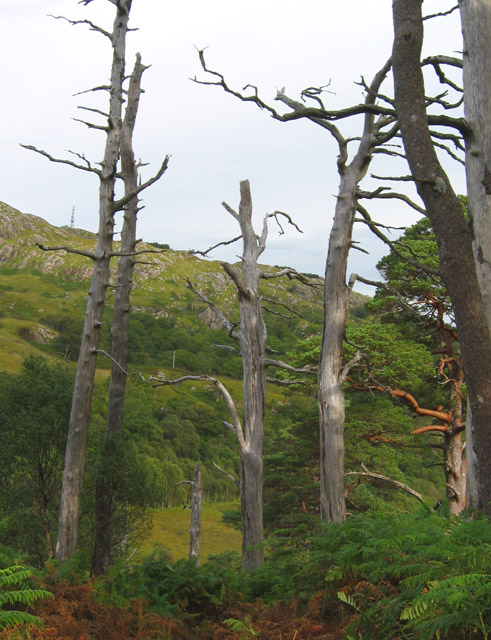 Stand of dead Caledonian pines