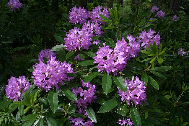 Rhododendron and all its beauty at Lochnabo.