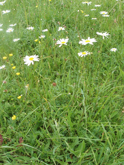 Ox-eye daisies in grass, Chesham Vale