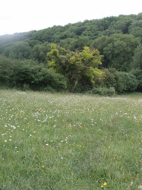 Meadow with ox-eye daisies, Chesham Vale