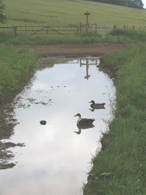 Ducks in a puddle, Well Farm, Berkhamsted Common
