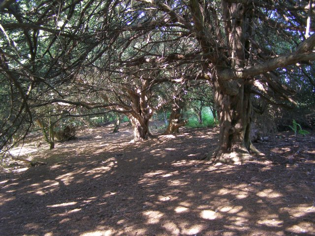 Sun-dappled yew woodland on Old Winchester Hill