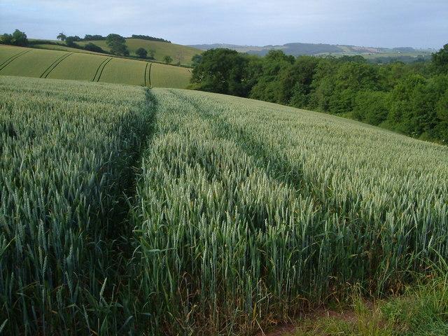 Wheatfields near Shobrooke Mill