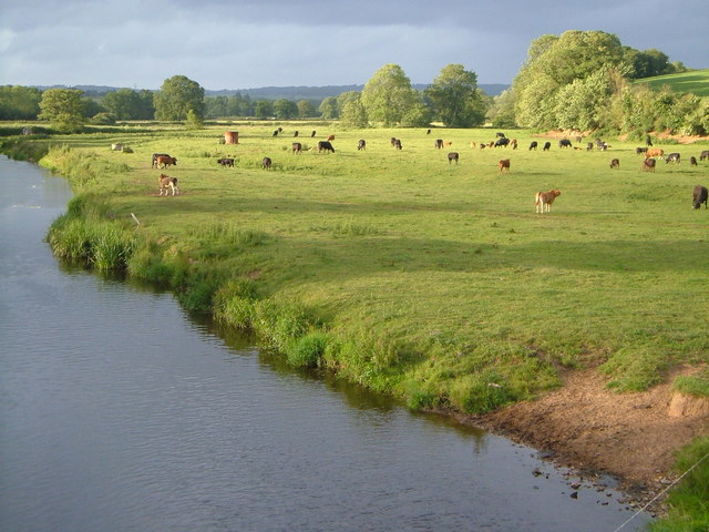Cows beside River Otter