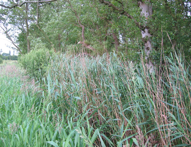 Reeds at Norbury Mere
